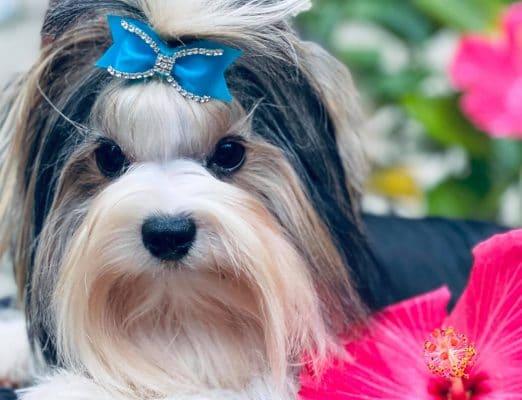 Stephanie Vance Biewer Terrier Breeder